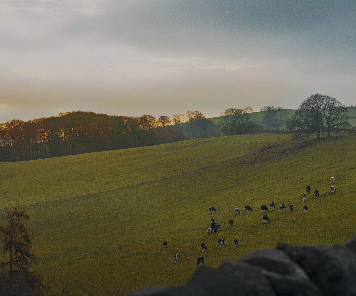 green field with cows